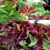 Beets, radishes, turnip and ?  Marvelous colors!